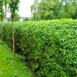 Živý plot z vtáčieho zobu