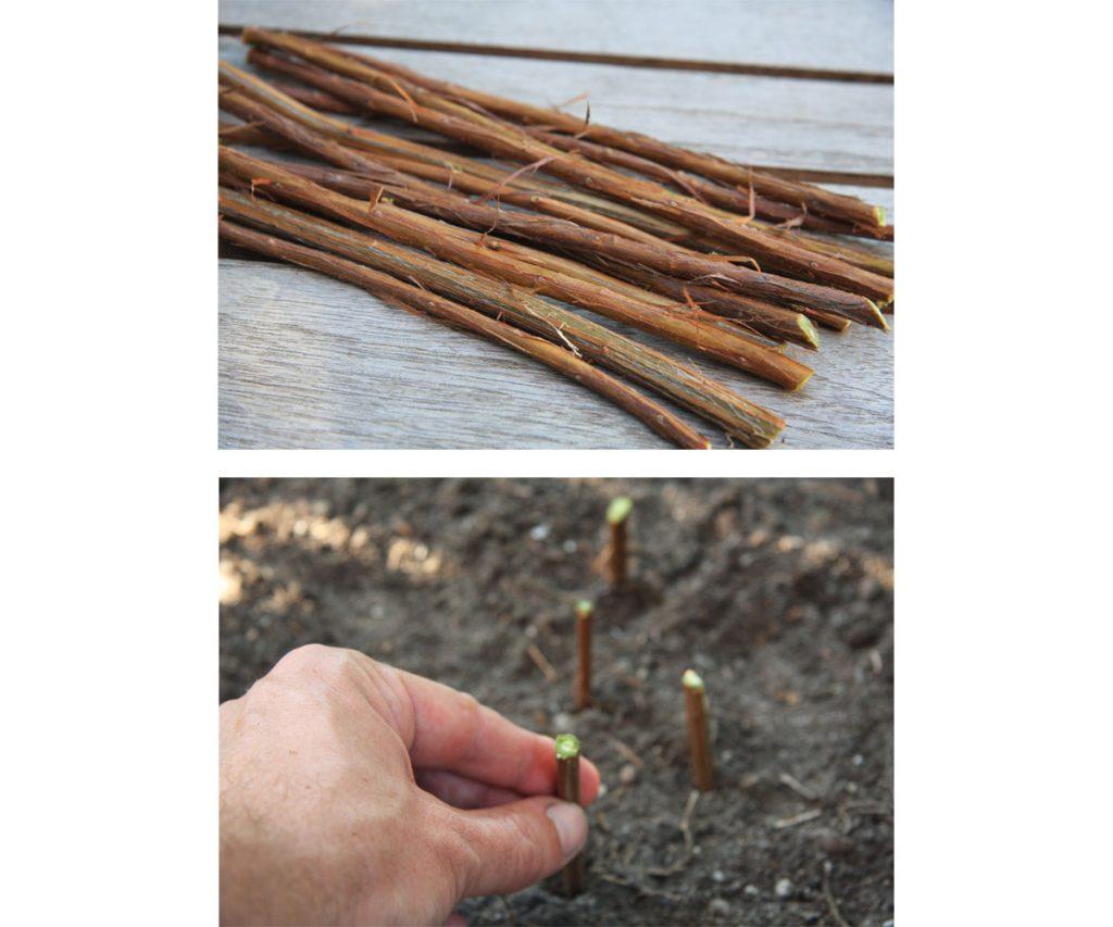 Ako sadiť živý plot z odrezkov