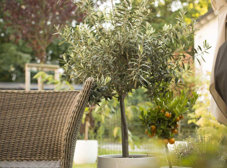 Kedy môžeme začať s letnením olivovníka?