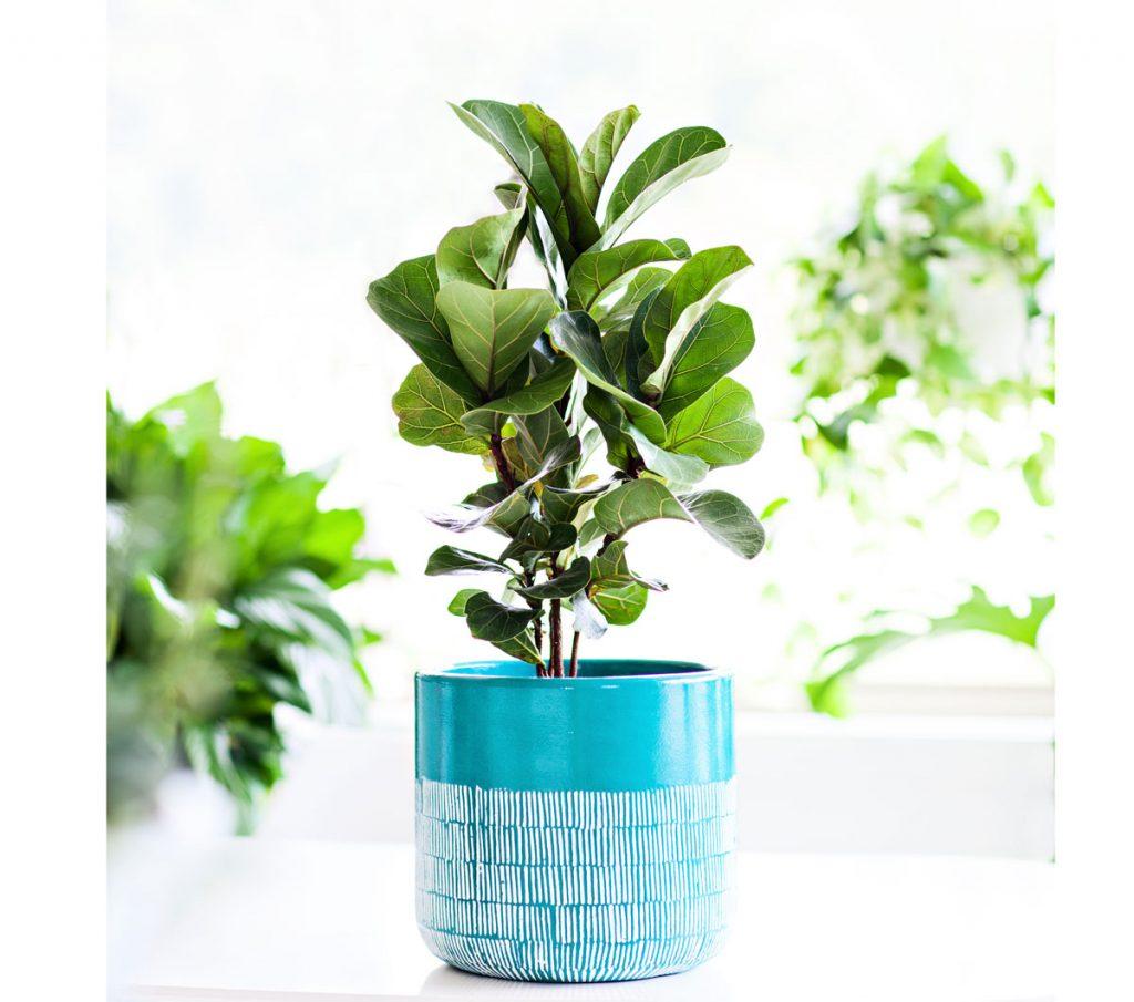 Ako pestovať fikusy: figovník lýrovitý, ficus lyrata