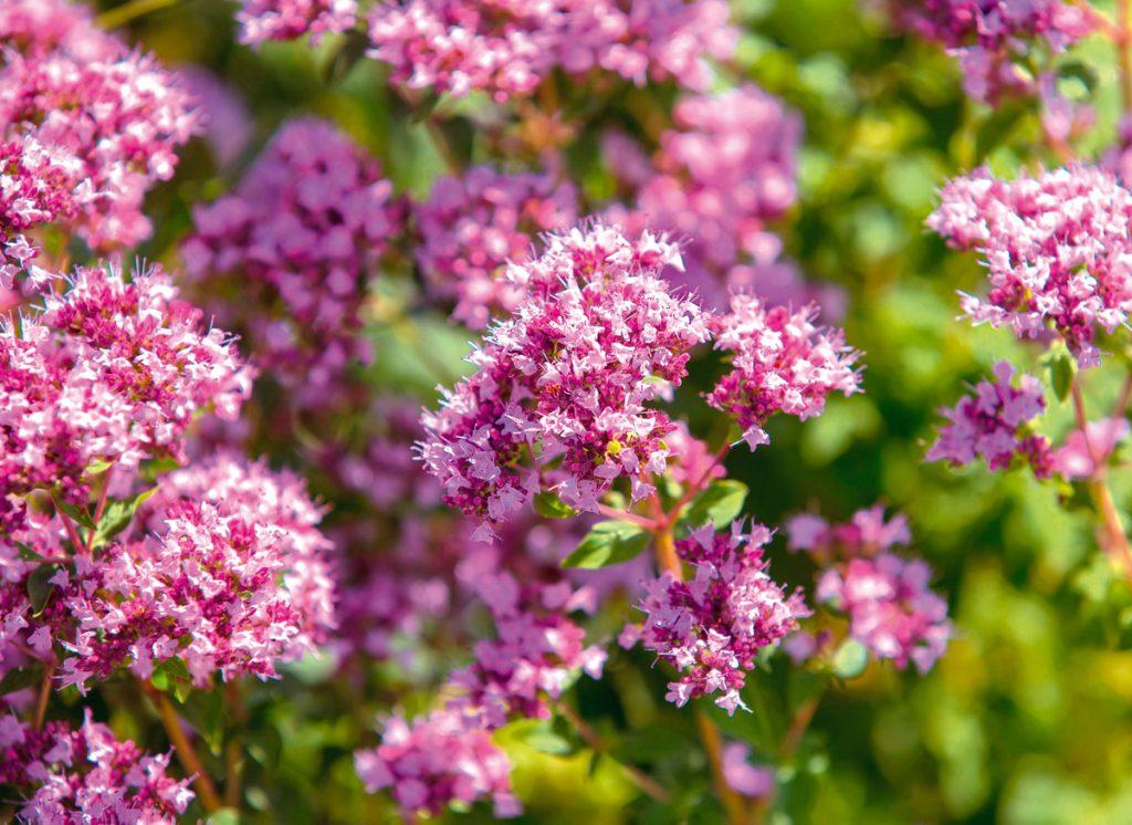 Ako pestovať oregano, kvety