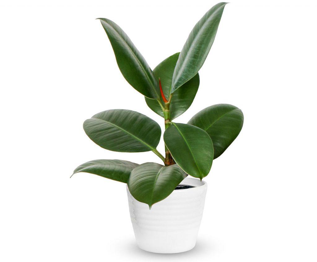 Ako pestovať fikusy: Ficus elastica, figovník kaučukový