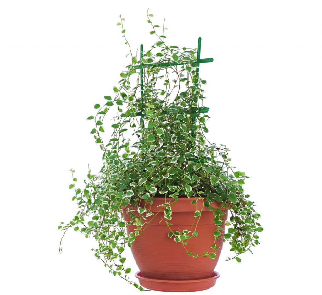 Ako pestovať fikusy: Ficus pumila, figovník popínavý