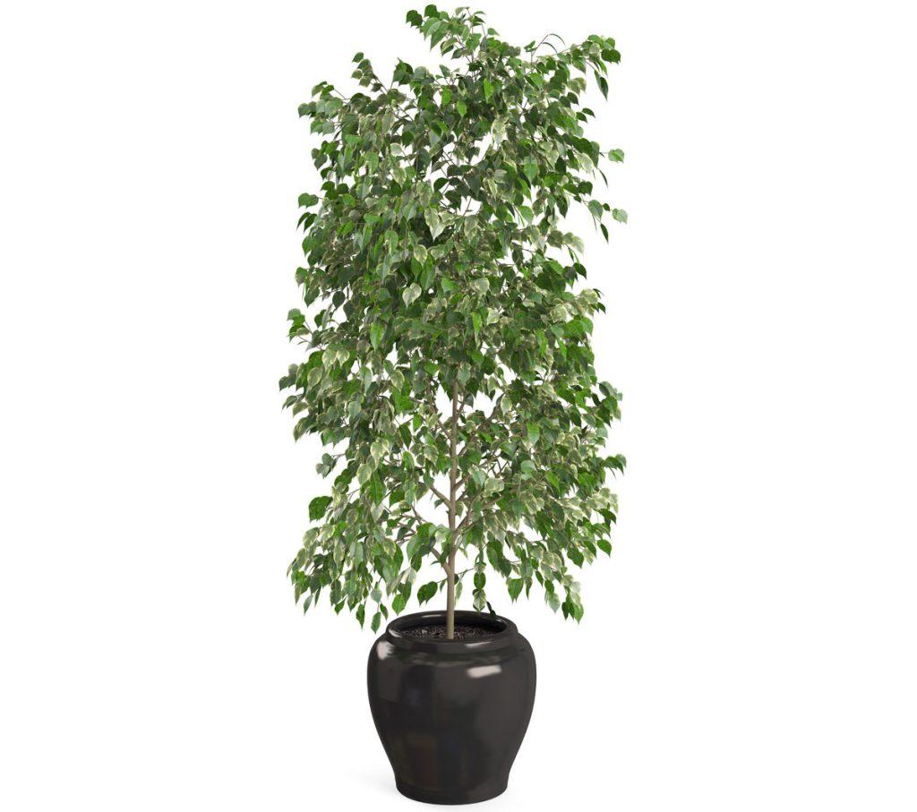 Ako pestovať fikusy: Ficus benjamina, figovník lesklý