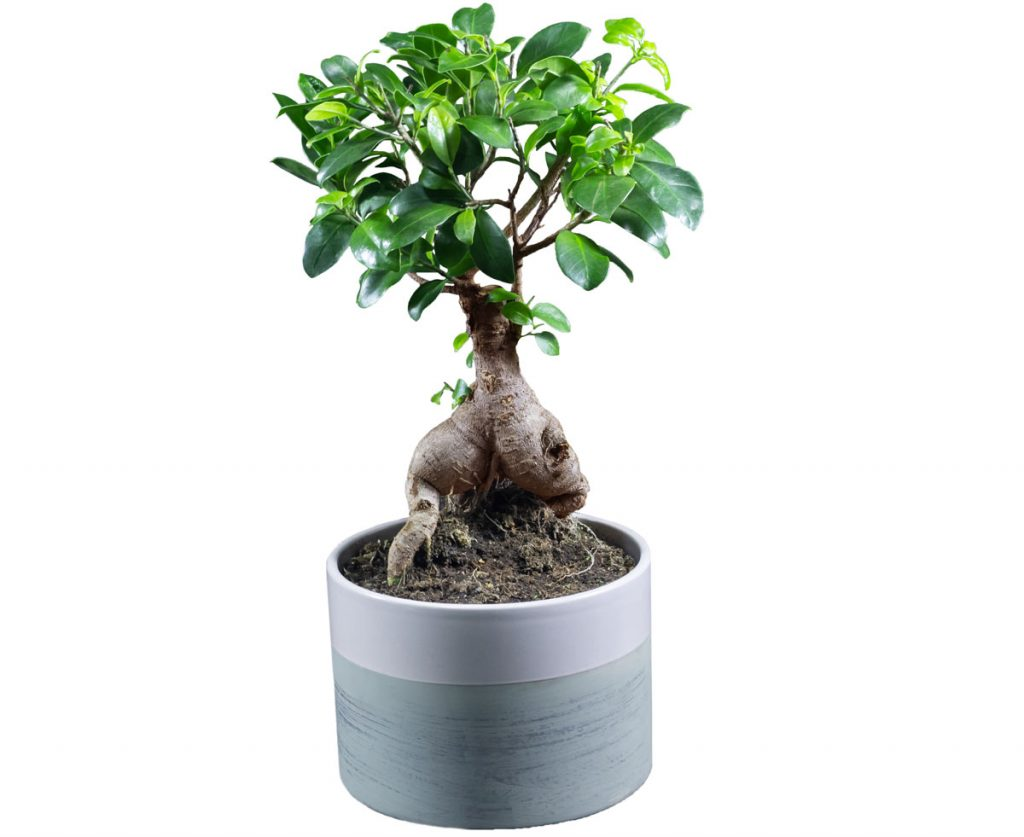 Ako pestovať fikusy: Ficus microcarpa, figovník maloplodý