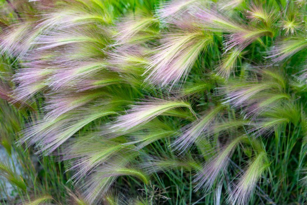 Trvalky na suché a slnečné stanovište: okrasná tráva kavyľ