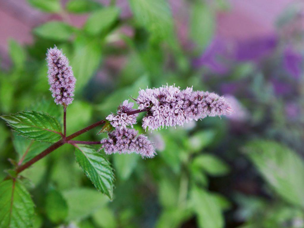 Pestovanie mäty, kvet
