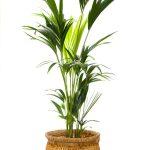 Palma v prírodnom koši
