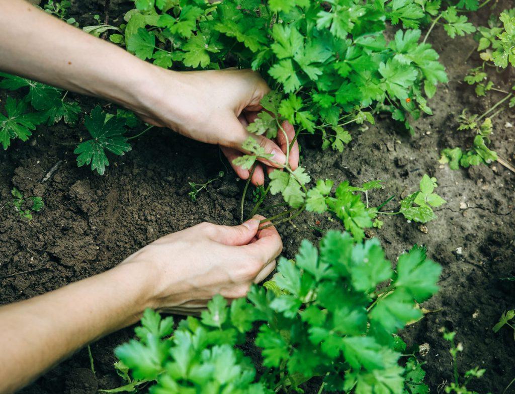 Ako pestovať petržlen: zber a výsadba