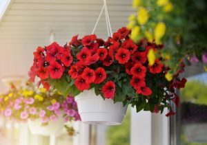 Stačí dodržiavať 5 krokov a petúnie budú kvitnúť bohato až do jesene