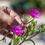 Pestovanie delospermy: odstraňovanie kvetov