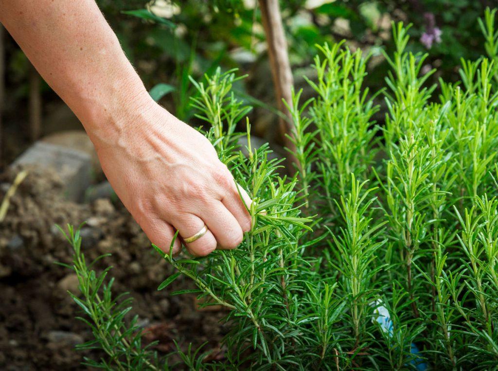 Pestovanie rozmarínu, zber