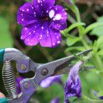 Strihanie odkvitnutých kvetov letničiek