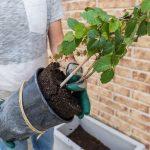 Výsadba zelenej steny z paviniča: vyňatie rastlín z kontajnerov