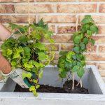 Výsadba zelenej steny z paviniča: umiestnenie rastlín do vegetačnej nádoby