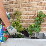 Výsadba zelenej steny z paviniča: zasypanie substrátom