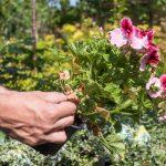 Odstraňovanie suchých, žltých a poškodených listov z letničiek