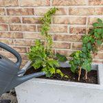 Výsadba zelenej steny z paviniča: zálievka