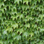 Výsadba zelenej steny z paviniča