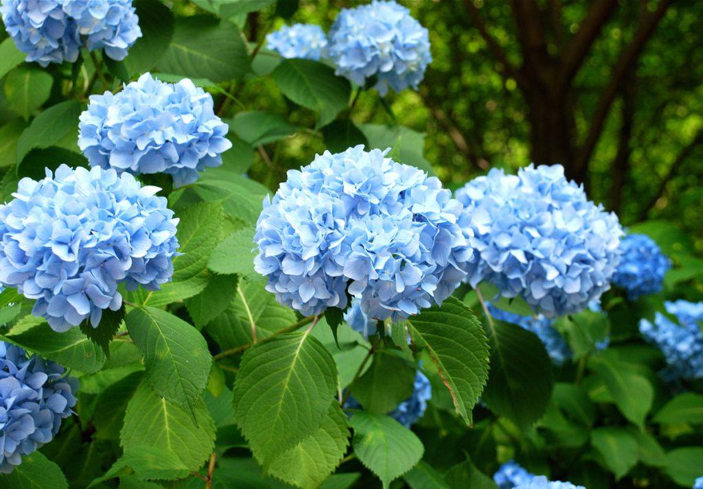 Modré hortenzie