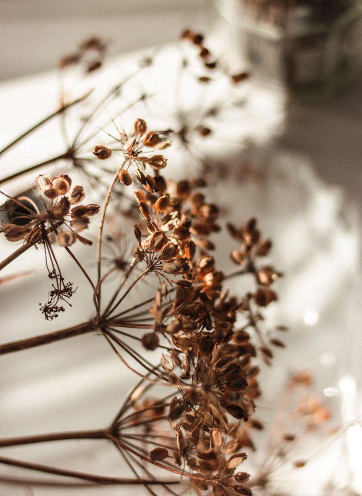 Vysušené kvety kôpru