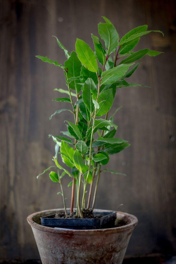 Vavrínový mladý stromček v kvetináči