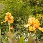 rozkvitnutý oranžový kosatec v okrasnom záhone
