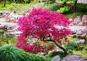 Aké miesto je vhodné na výsadbu japonského javora?