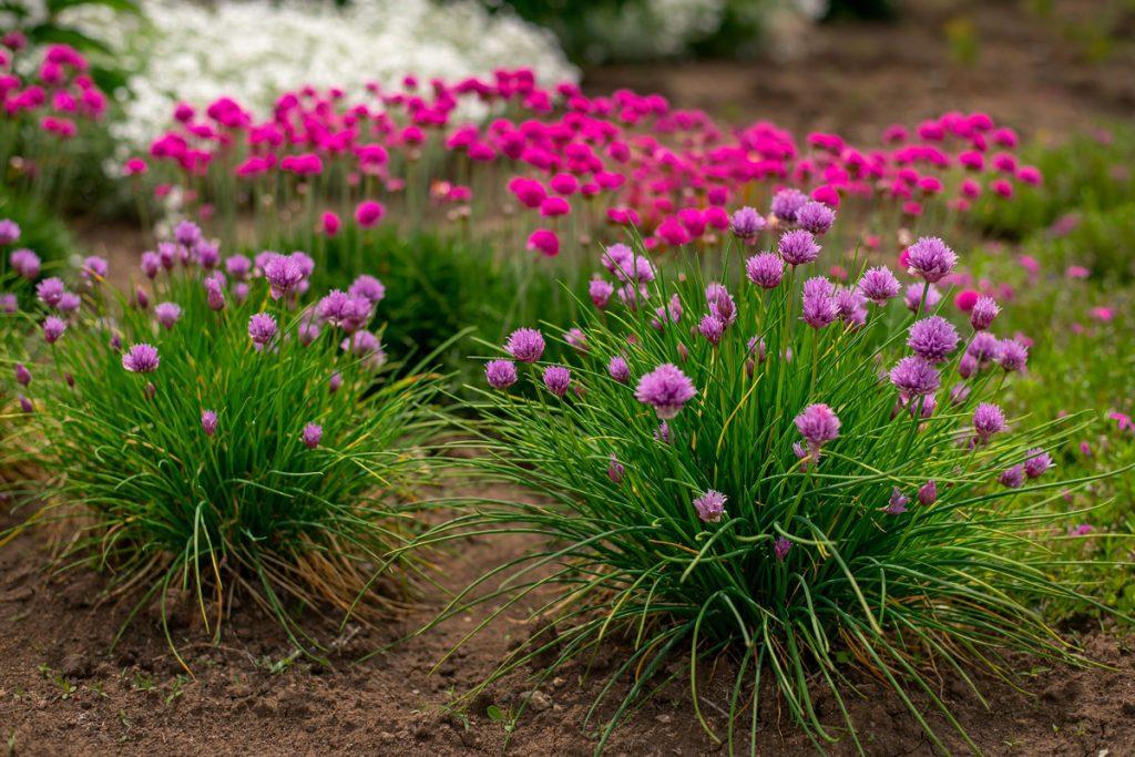 ružové a fialové trávničky