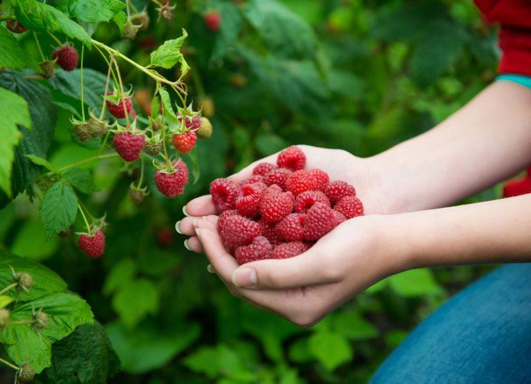 Ako pestovať maliny, aby sme sa dočkali bohatej úrody?