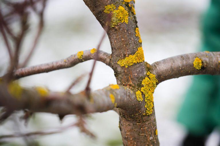 Škodia lišajníky na stromoch?