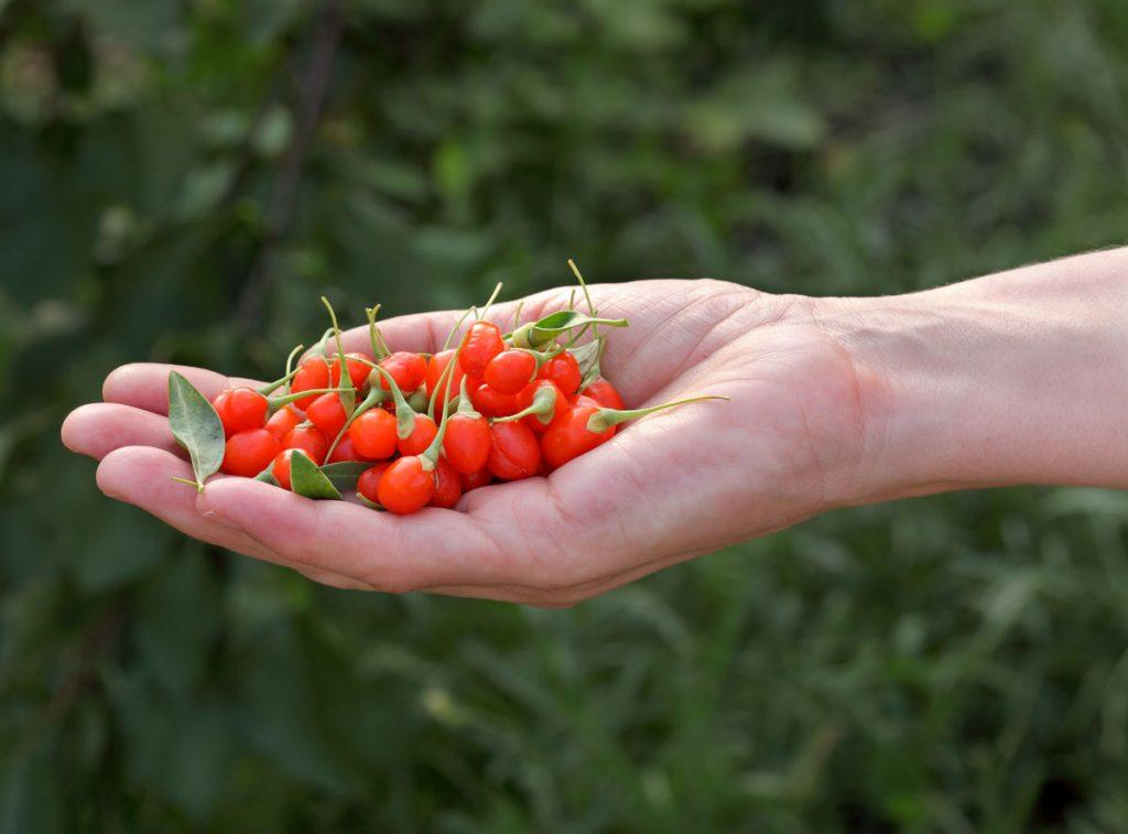 ruka, ktorá má v dlani plody goji alebo aj kustovnice čínskej