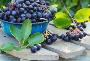 Ako pestovať aróniu a čo vám môžu ponúknuť jej plody