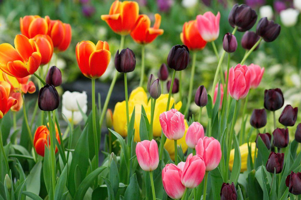 tulipánový záhon s červenými, čiernymi, ružovými a žltými druhmi
