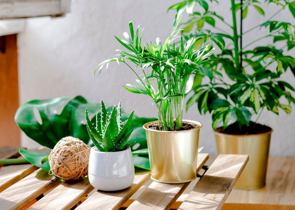 Je tu koniec letnenia izbových rastlín! Toto urobte ešte predtým, ako ich prenesiete dovnútra