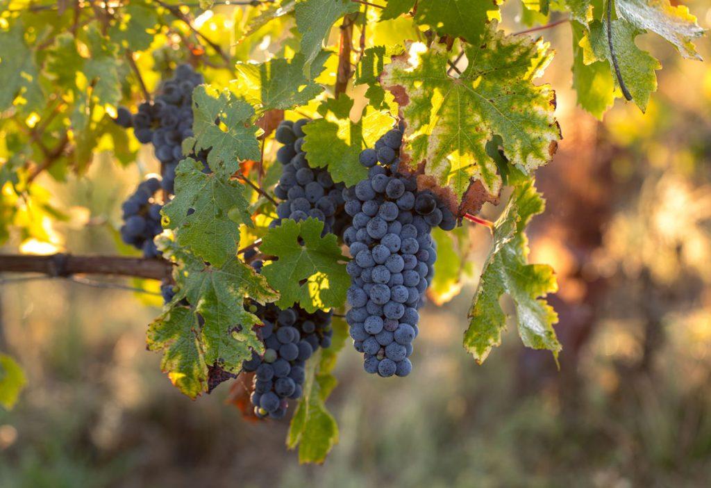 Prečo žltnú listy viniča? Nie vždy je na vine škodca