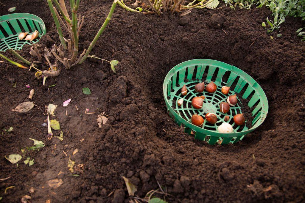 Cibuľky kvetín v plastovom košíku vo vykopanej jame