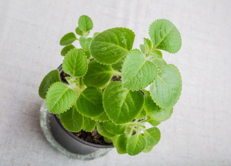 Nádchovník prelieči akné či zbaví nadúvania, a jeho pestovanie zvládne aj začiatočník
