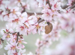 Obľúbenú prísadu cukroviniek si môžete zasadiť aj do malej záhrady. Ako pestovať mandľu?