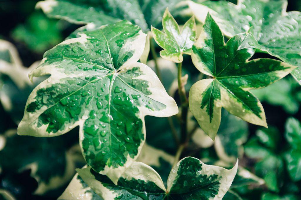 Ako pestovať fatshederu? Prežije aj v exteriéri?