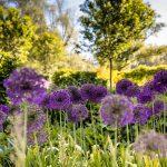 fialový okrasný cesnak v záhrade