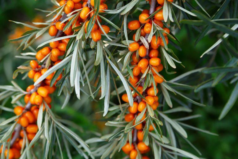 Chcete do záhrady ovocnú drevinu, ktorá vám prežije aj tuhé zimy? Stavte na rakytník