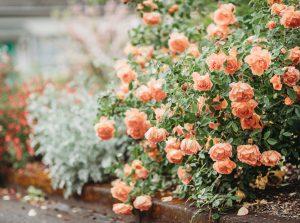 Ako úspešne založiť rozárium? Pri jesennej výsadbe dajte prednosť voľnokorenným ružiam