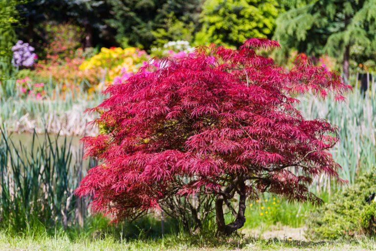 Japonský javor je atraktívnou ozdobou jesenných záhrad. Rosenie listov si užíva, no s rezom sa mu nezavďačíte